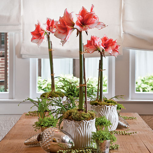 The best fall blooming indoor plants fresh american for Amaryllis christmas decoration