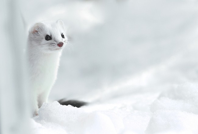 ermine-in the snow the photonaturalist